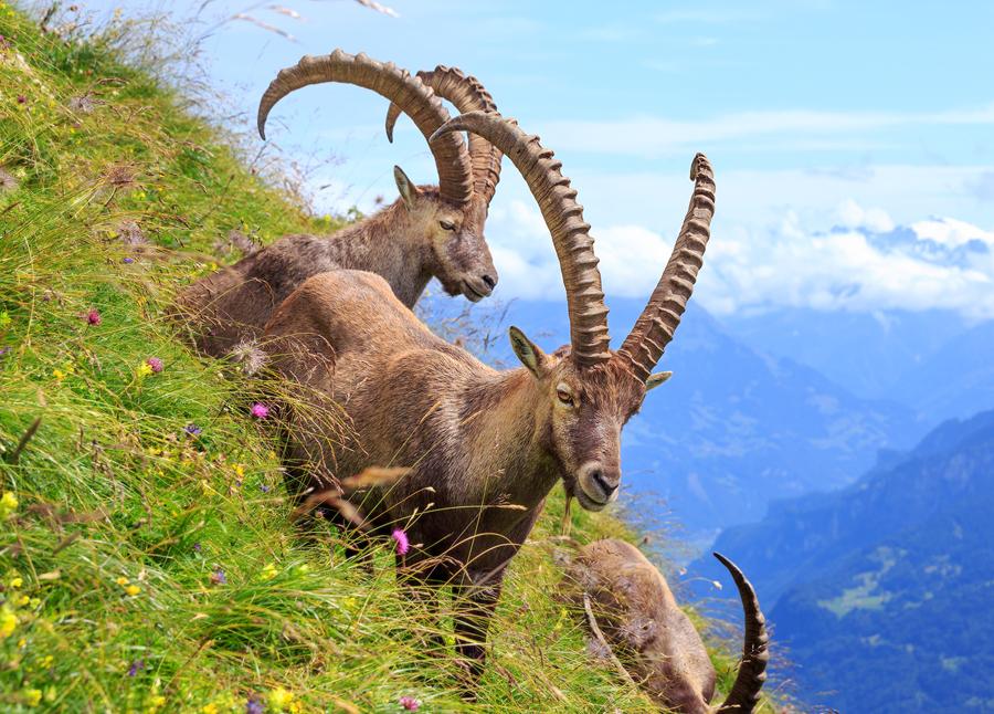 Alpine Ibex  Switzerland by Bakisto