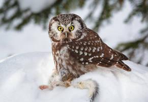 Little Killer II - Boreal Owl by Bakisto