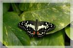butterfly by DiveSurfer