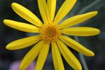 I Think It's A Daisy? by leroyjenkinshill