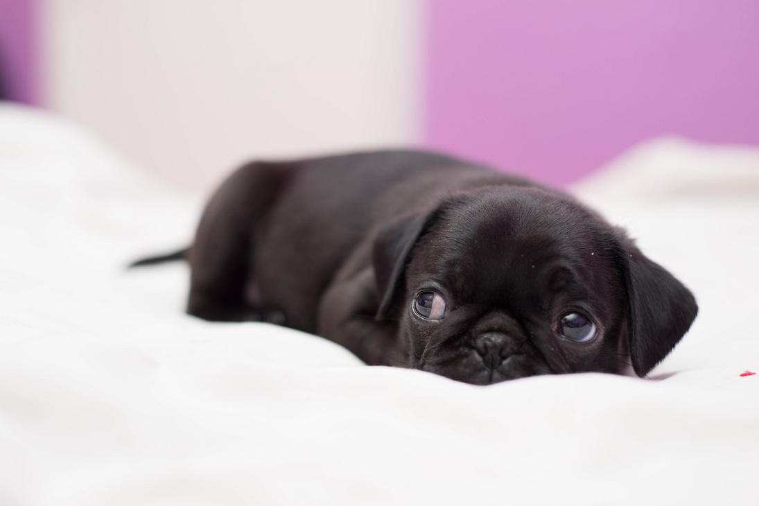 How to Buy a Pug Puppy photo