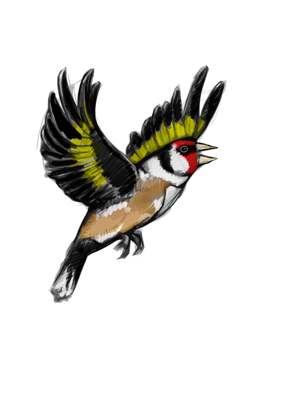 Goldfinch sketch by BrainBlueArts