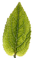 leaftexture_01
