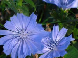 Blue Flower 0016 by Miskwaadesi