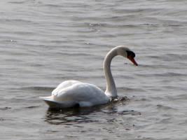 Swan 0454 by Miskwaadesi