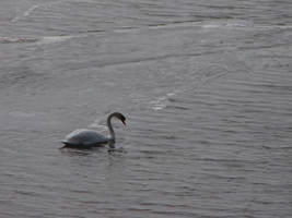 Icy Swim for a Swan by Miskwaadesi