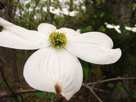 Dogwood Bloom 0597 by Miskwaadesi