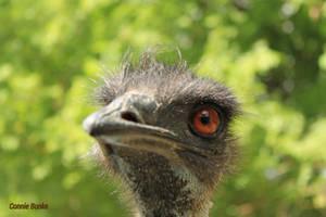 Pop Up Emu! by Miskwaadesi