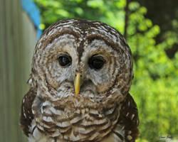 Barred Owl by Miskwaadesi