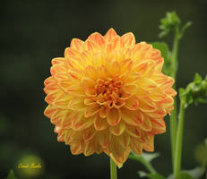 Dahlia 6106 by Miskwaadesi