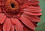 Tears of a flower