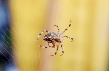 Garden Spider Making Web by dimebagsdarrell