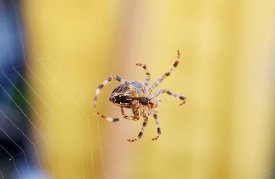Garden Spider Making Web