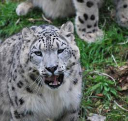 Snow leopard by busangane