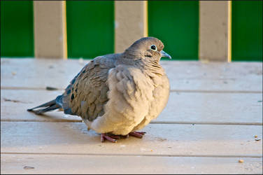Puffed Up Mourning Dove by Jeannot7