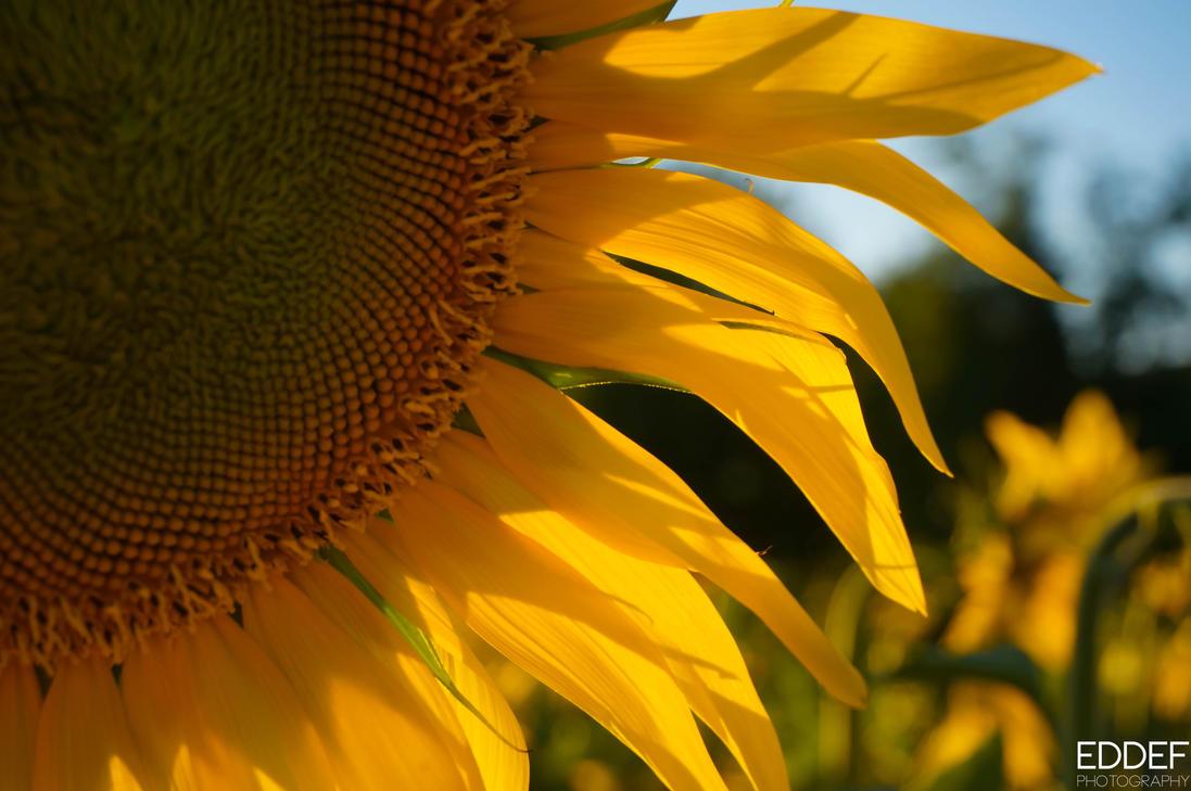 Sunflower by eddef