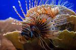 ZSL - Lionfish