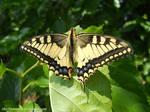 Papilio machaon by The-Nunnally