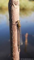 Blue-tailed damselfly by The-Nunnally