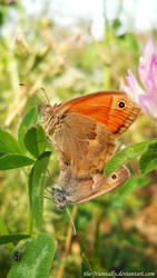 Coenonympha pamphilus by The-Nunnally