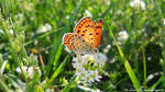 Lycaena thersamon by The-Nunnally