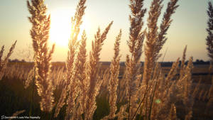Spikelets in sunset