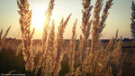 Spikelets in sunset by TheNunnally