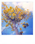 Tabebuia by herhearts