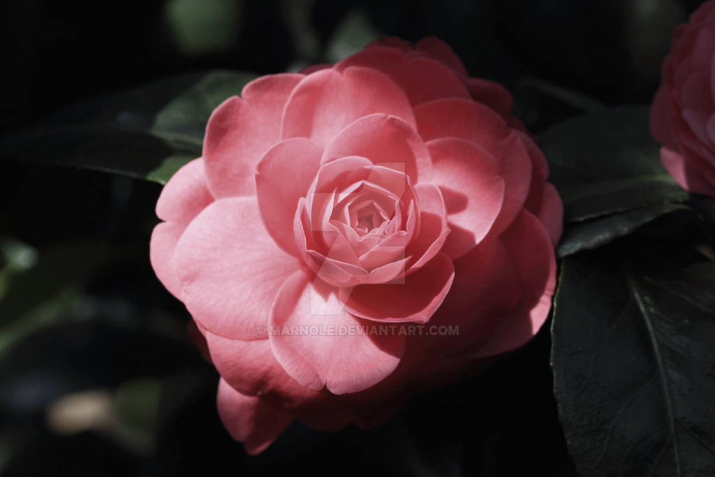 Beautifull Camellia by MarNoLe