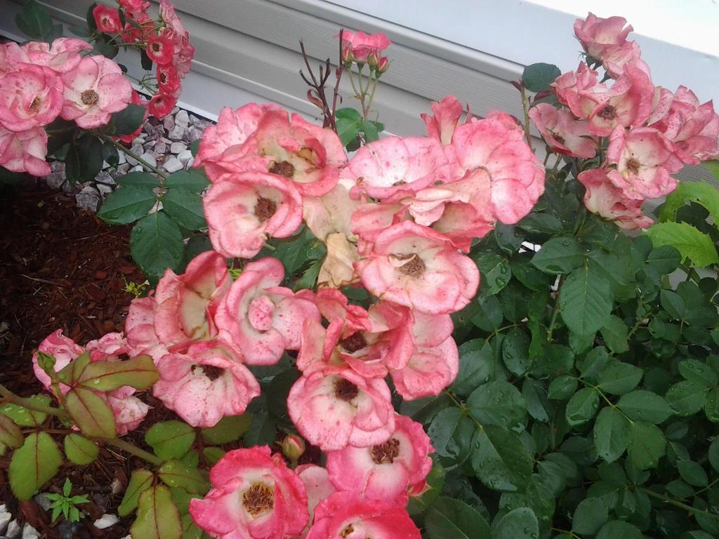 Light Pink Flowers By Fire Aqua Stars97 On Deviantart
