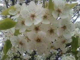 Bloom white