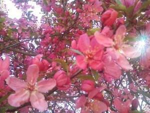 full pink bloom