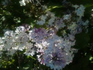 light purple bloom