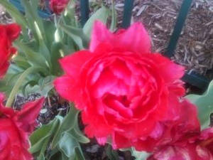 A single red bloom