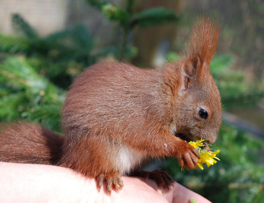 Eurasian red squirrel baby by maViewEurasian Baby