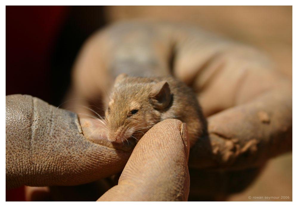 Zambia - Baby Mouse by rowanseymour