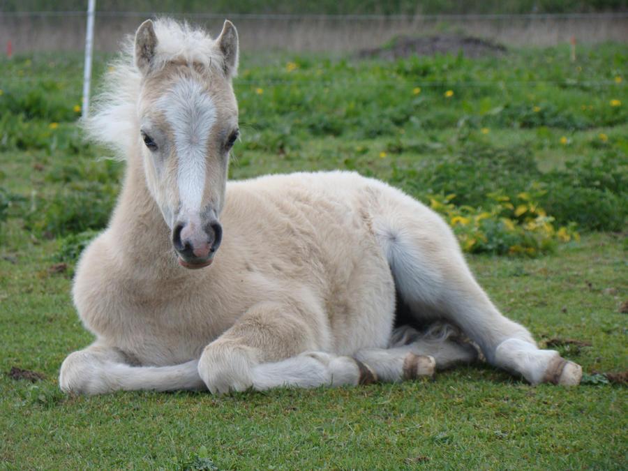palomino foal - photo #8