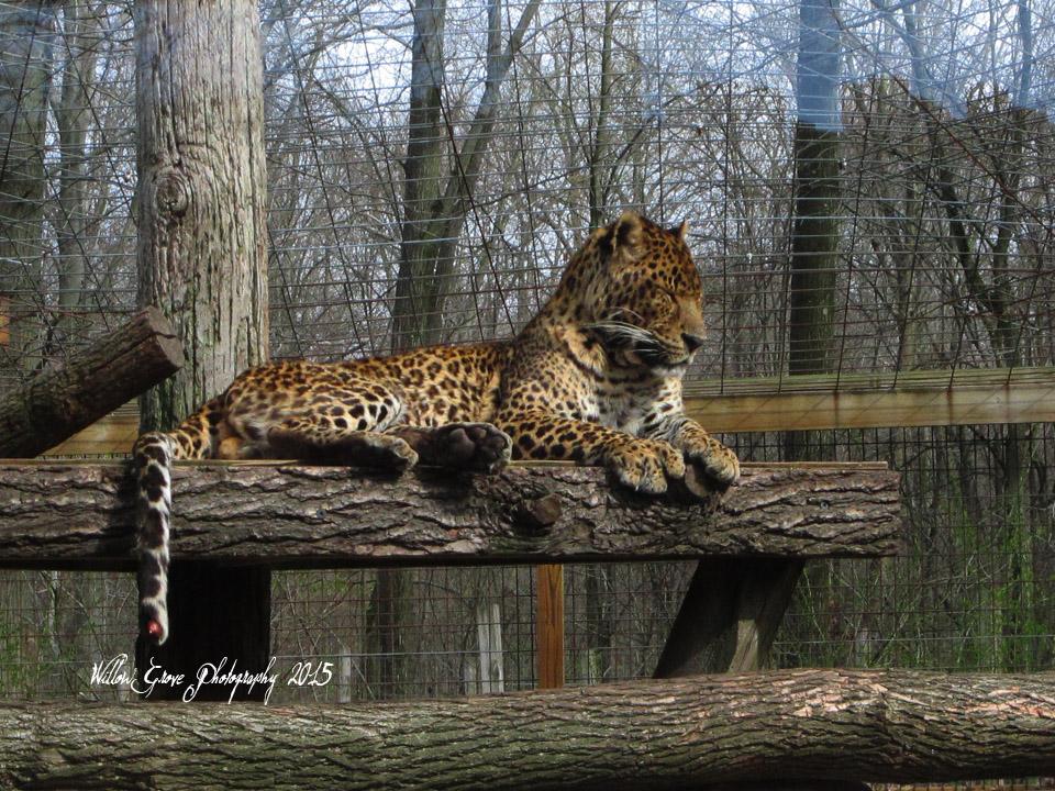 +Leopard+ by iJessykins