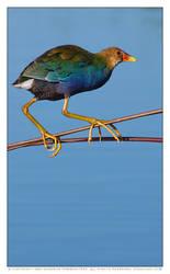 Purple Gallinule by vividlilac