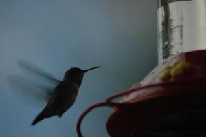 Humming Bird by Philzang