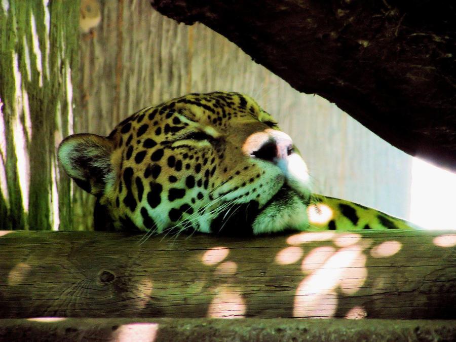 Jaguar 2 by Miki4