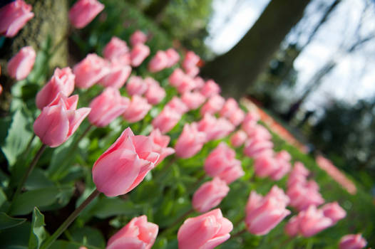 Pink Tulips in Holland