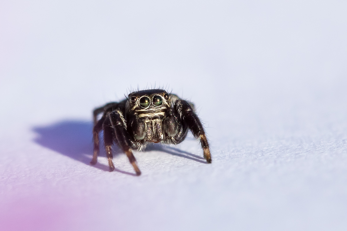 Cute jumping spider by alkhor
