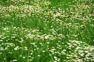 The Field of Daisies by theWitchofGrich