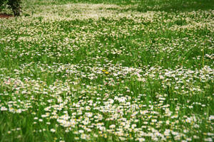 The Field of Daisies II by theWitchofGrich
