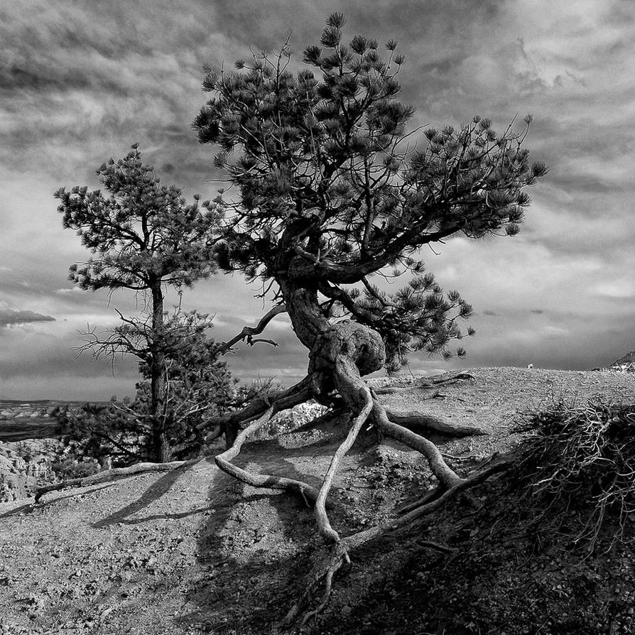 Lonely Pine by flop404