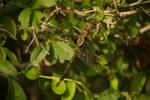 Brown DragonFly July - 2014 - 9 - 2
