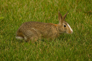 Unusual Eastern Cottontail 2 by CylindricalFawn