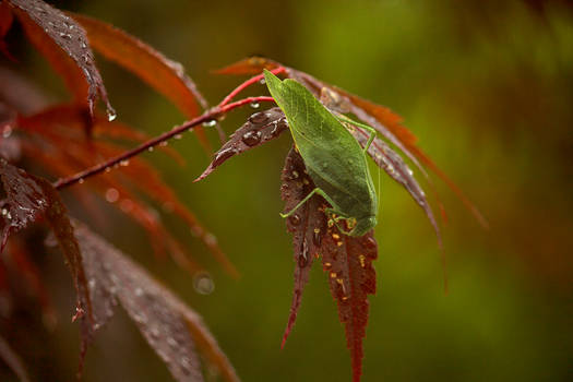 Greater AngleWing Katydid August - 2014 - 26 - 5