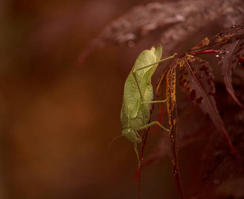 Greater AngleWing Katydid August - 2014 - 26 - 4